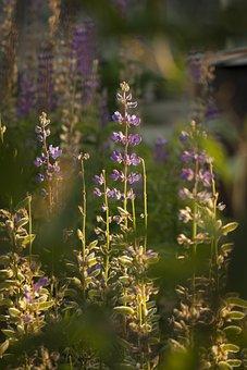 Flowers, Summer, Nature, Garden, Meadow, Purple, Flora
