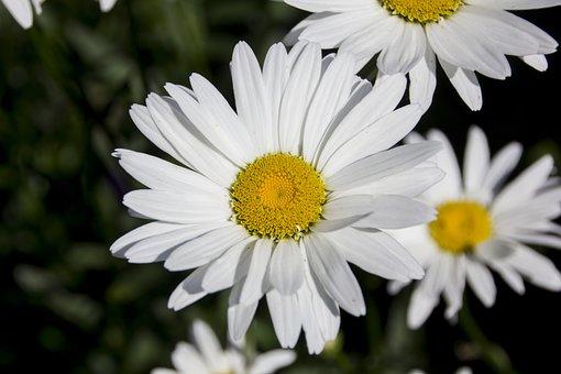 Daisies, Flower, Blossom, Bloom, Nature, Plant, Garden