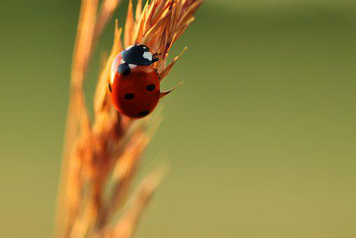 Ladybug, Lucky Charm, Nature, Beetle, Insect, Points