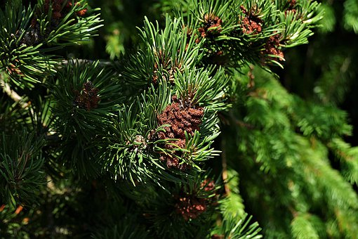 Pine, Needles, Shoots, Conifer, Branch, Tree