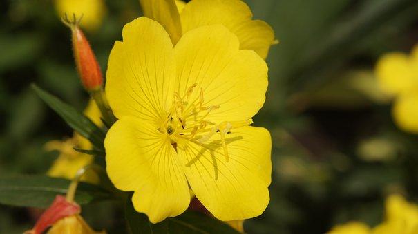 Oenothera, Enothera, Wildflowers, Flower, Yellow