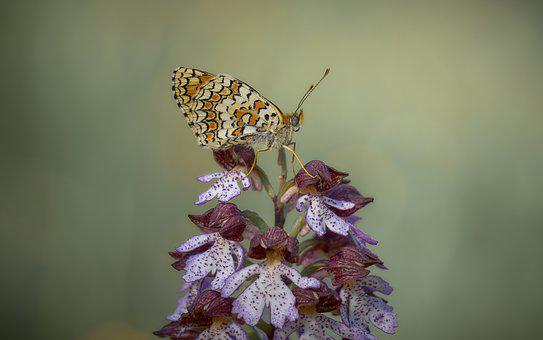 Butterfly, Orchid, Flower, Nature, Flora, Spring