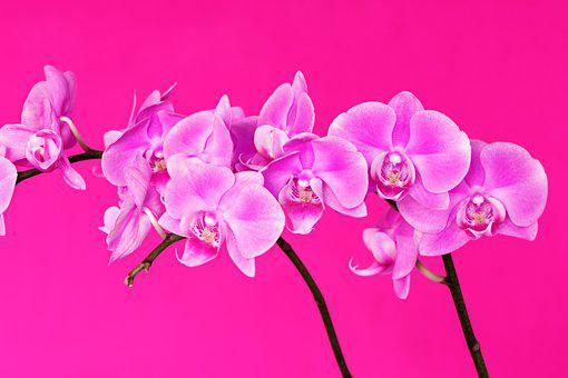 Pink, Orchid, Flower, Nature, Plant, Close Up