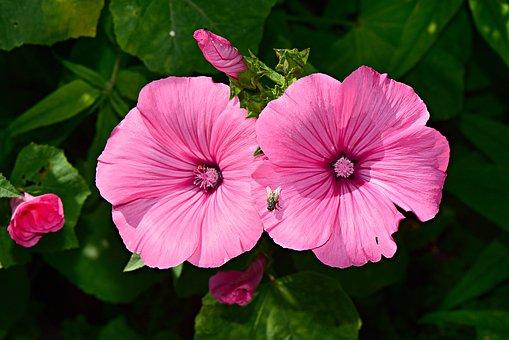 Tree Mallow, Flower, Plant, Petal, Pink, Pistil, Stamen