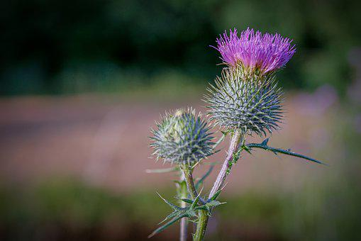 Diestel, Blossom, Bloom, Nature, Plant, Summer, Prickly
