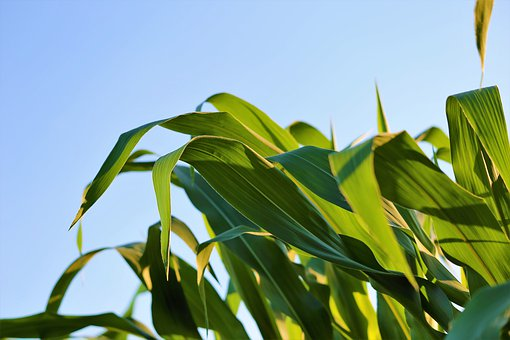 Agriculture, Corn, Plant, Green Leaves, Summer