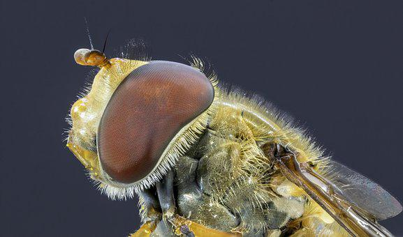 Hoverfly, Insect, Nature, Fly, Wing, Pollination, Macro