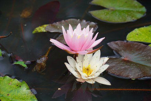 Water Lily, Pond, Water, Aquatic Plant, Bloom, Plant