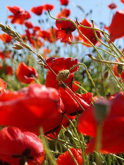 Poppy, Red, Summer, Flower, Flowering, Field, Bed
