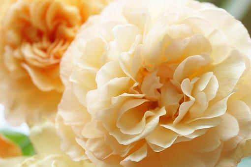 Apricot, Rose, Flower, Bloom, Orange