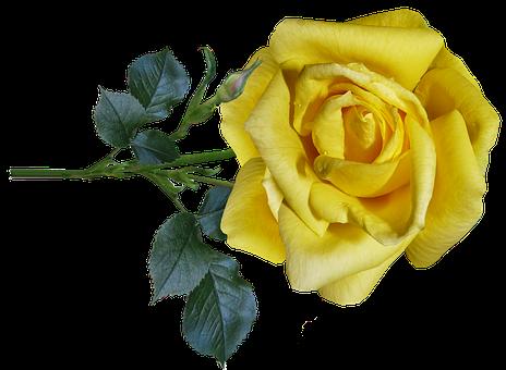 Rose, Yellow, Flower, Stem, Fragrant, Perfume