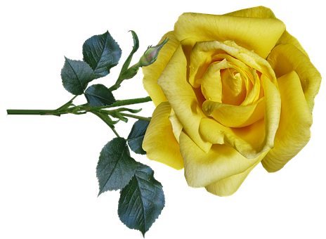 Rose, Yellow, Flower, Stem, Fragrant, Greeting Card