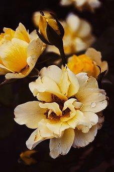 Rose, Roses, Summer, Rosen, Sommer, Flowers, Novel
