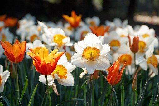 Tulips, Flowers, S, Spring, Nature, Pink, Bloom, Garden