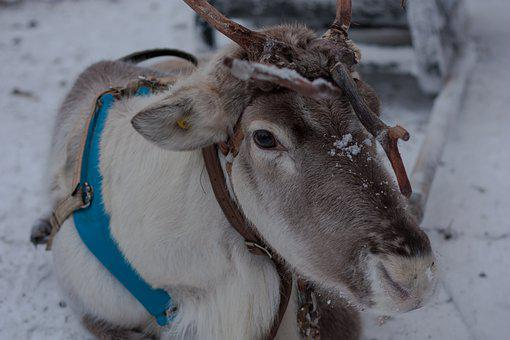 Lapland, Reindeer, Sled, Snow, Winter, Scandinavia