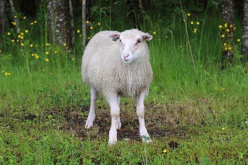 Lamb, Sheep, Livestock, Animal, Nature, Grass, Herd