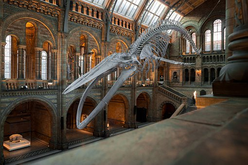 National History Museum, London, Uk, Wal, Skeleton