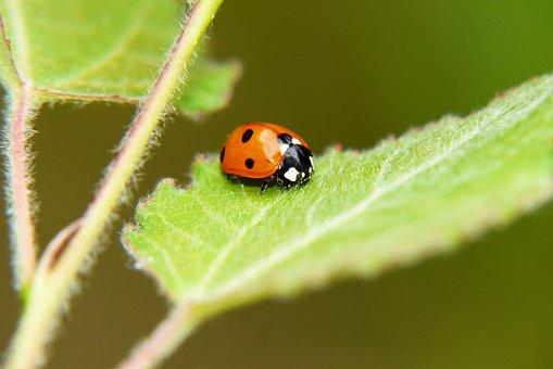 Septempunctata, Ladybug, The Beetle, Leaf, Animals
