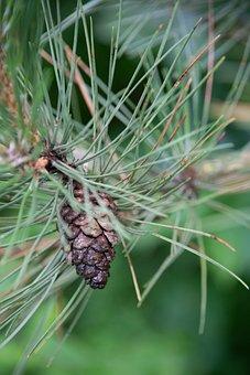 Pinecone, Pine, Needle, Fir, Tree, Rain, Drop, Woods