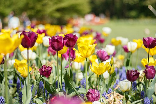 Tulips, Spring, Nature, Garden, Flora, Colorful