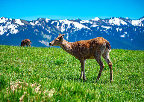 Deer, Meadow, Mountains, Washington, Wildlife