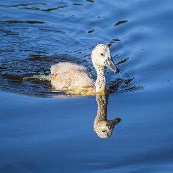 Animal, Swan, Water, Bird, Waterfowl