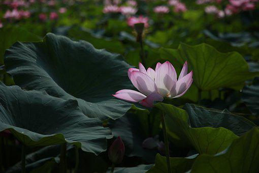 Lotus, Flowers, Water Lilies, Meditation, Nature