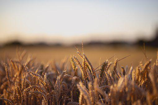 Wheat, Field, Summer, Agriculture, Harvest, Cereals