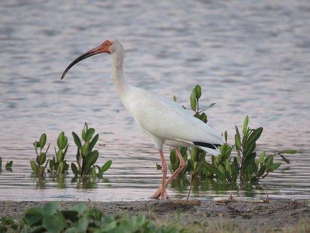 American White Ibis, White Ibis, Ibis, Bird