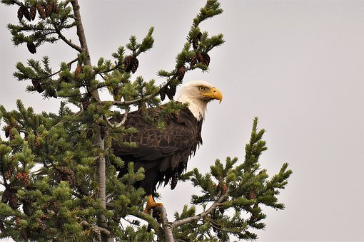 Bald Eagle, Bird, Animal, Nature, Raptor, Wild Animal