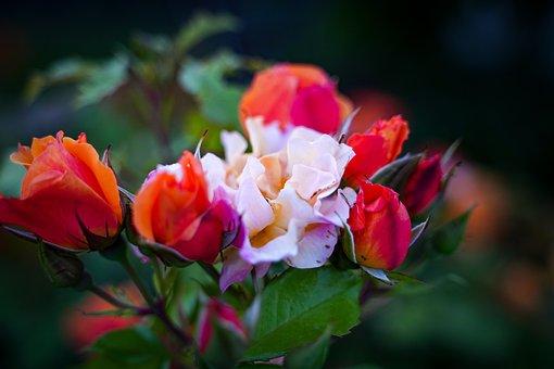 Rose, Rose Flower, White, Yellow, Blossom, Bloom