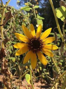 Sun Flower, Summer, Sun, Nature, Sunlight, Calm, Yellow