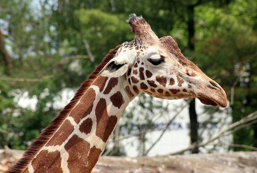 Giraffe, Animal, Mammal, Portrait, The Silhouette