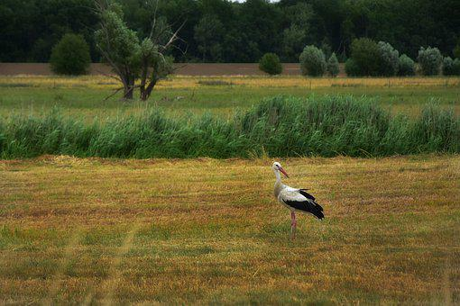 Stork, Bird, Animal, Rattle Stork, Animal World