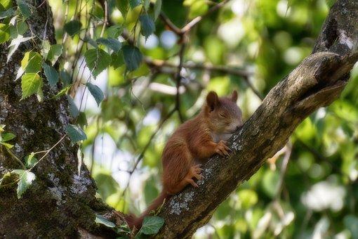 Squirrel, Young, Young Animal, Sleeping, Mammal, Animal
