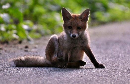 Animals, Fox, Her, Mammal, Nature, Wild, Hairy, Young