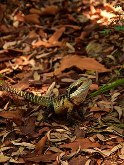 Lizard, Reptile, Animal, Green, Nature, Australia, Wild