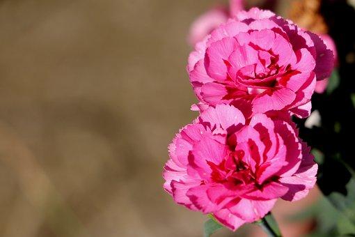 Cloves, Flowers, Petals, Background, Pink