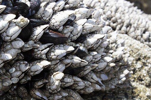 Barnacles, Mussels, Shell, Beach, Sea, Coast, Texture