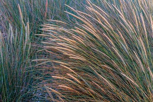 Marram Grass, Cereals, Grass, Nature, Field, Beach