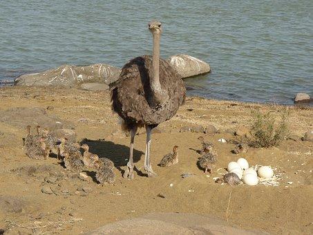 Ostriches, Bouquet, Strauss, Bird, Flightless Bird