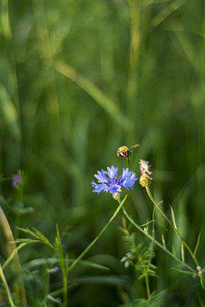 Insect, Bittern, Bumblebee, Summer, Green, Cornflower