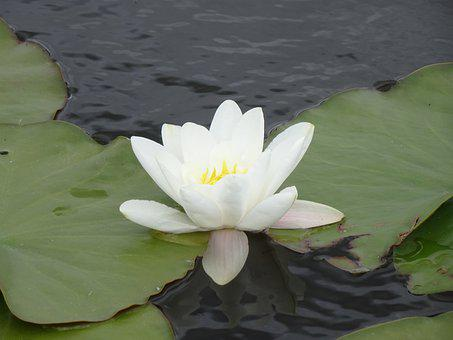 Water Lily, White Water Lily, White, Blossom, Bloom