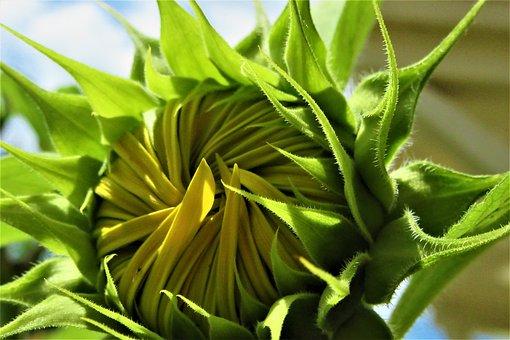 Sunflower, Button, Open, Bloom, Grow, Sun, Botany
