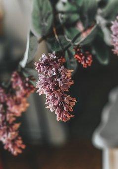 Syringa, Lilac, Bloom, Plant, Purple, Blossom, Violet