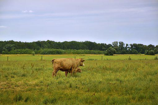 Cows, Calf, Young Animal, Animals, Mother And Child