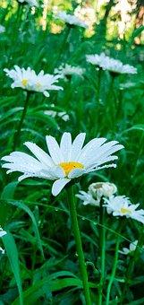 Flowers, Chamomile, Greens