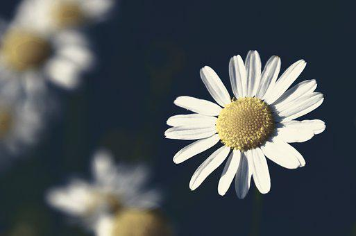 Chamomile, Flower, Herb, Flowers, Nature, Herbs, Aroma