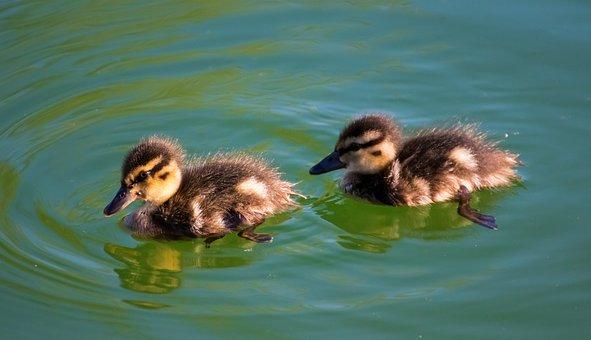 Duck, Baby, Chicks, Duckling, Cute, Sweet, Ducklings