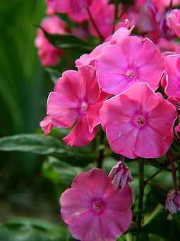 Flower, Pink, Bouquet, Garden, Nature, Closeup